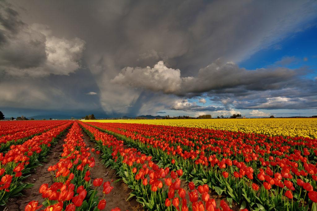 Jaromira_bourka tulips