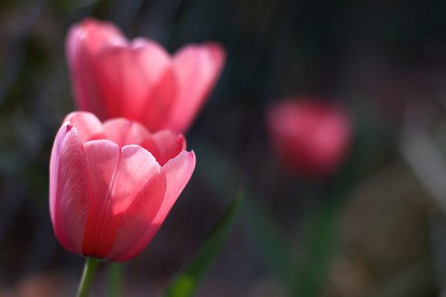 Jaromira_tulip1