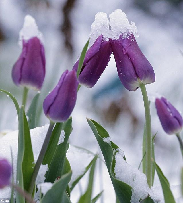 Jaromira_tulips snow