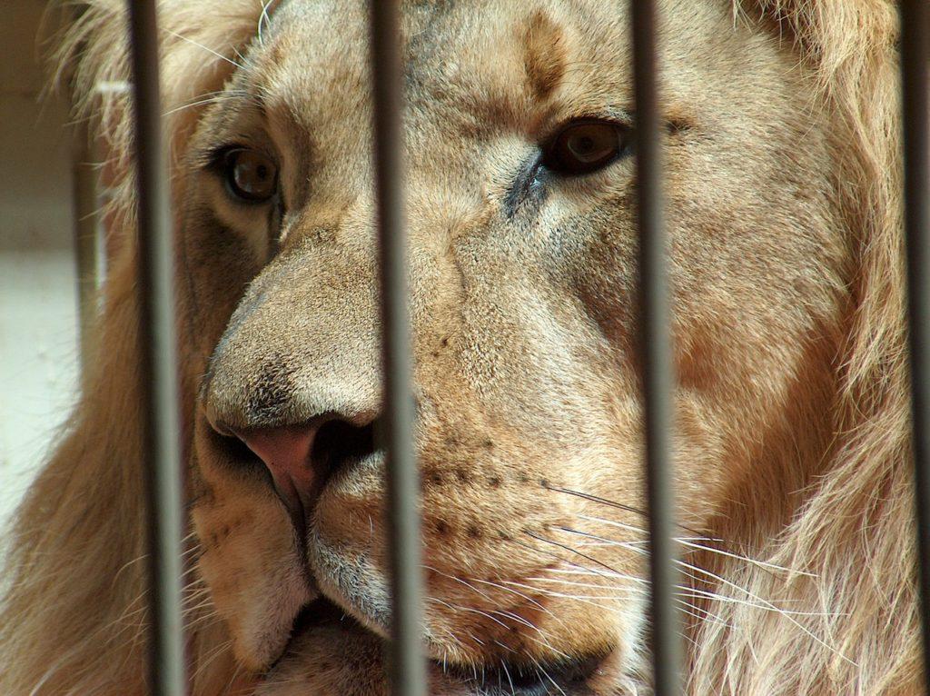 dítě lev klec